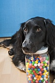 Dog guarding a jar of coloured bubblegum balls