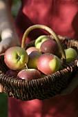 Person holding basket of apples