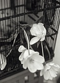 White tulips in a wire cage