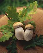 Two fresh ceps on oak leaves