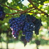 Black grapes on the vine (close-up)