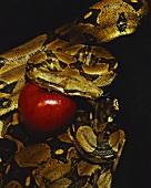 Schlange mit Apfel