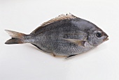 Black seabream (Dorade grise)