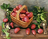 Red potatoes in basket and potato plant