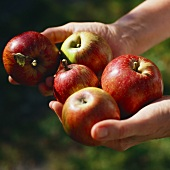 Hands holding five apples (variety: Rheinischer Krummstiel)