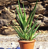 Aloe vera in pot in front of stone wall