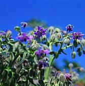 Blühender Borretsch vor blauem Himmel