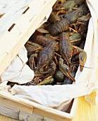 European freshwater crayfish in woodchip basket