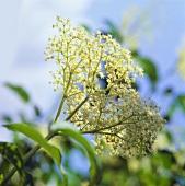 White elderflowers on the bush