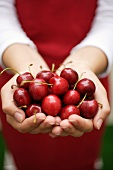Hands holding fresh heart cherries