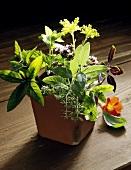 Herbs in terracotta pot