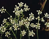 Flowering caraway plant