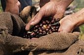 Olive harvest (Liguria, Italy)