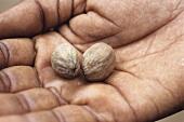 Hand holding Vibhitaki (Ayurvedic medicinal plant)