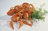 Cooked swamp crayfish with dill sprig