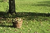 Basket of apples under a tree