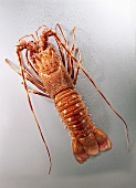 European spiny lobster, cooked