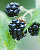 Blackberries on the bush (close-up)