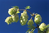 Hop cones against blue background (Humulus lupos)