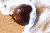 Coconut in outer shell being caught by a wave on the beach