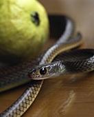 Live snake encircling a guava