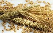 Cereal ears and grains (barley, rye, wheat)