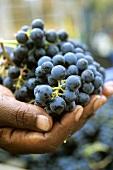 Cabernet Sauvignon grapes, Stellenbosch, S. Africa
