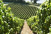 Vineyard in the Mosel region
