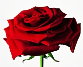 A red rose against a white background
