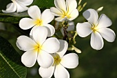 Frangipani flower (also known as Temple Tree and Pagoda Tree)