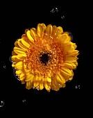 A floating marigold