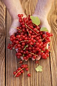 Two hands holding redcurrants