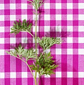 A sprig of wormwood on checked cloth