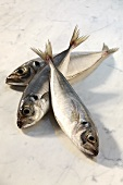 Three Atlantic horse mackerel (Trachurus trachurus)