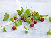 Wild strawberries with leaves and runners