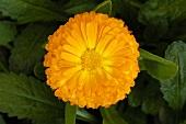 A marigold