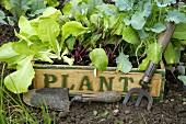 Junge Gemüsepflanzen