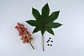 Fruit, leaf & seeds of the ricinus plant (castor oil plant)