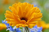A marigold and borage flowers