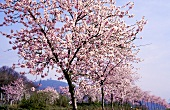 Almond trees in blossom