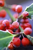 Sprig of holly with berries