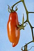 A tomato on the vine ('Bauerntomate aus Honduras')