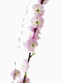 Almond blossom on a branch