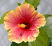 Hibiscus flower, close-up