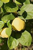 Quinces on the tree