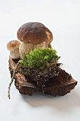 Ceps with soil and moss on tree bark