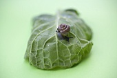 Snail on cabbage leaf