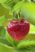 Ripe strawberry on the plant
