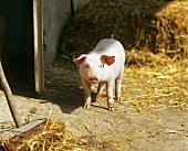 Live pig