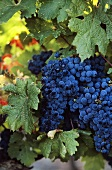 Grenache grapes in Les Baux de Provence, Rhone, France